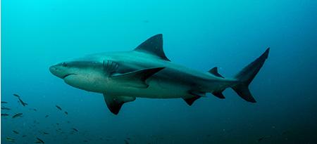 islas murcielagos tiburon torro