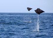papagayo dive sites devil rays sorpresa
