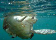 papagayo dive sites turtle tortuga