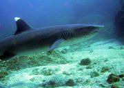 papagayo dive sites whitetipp shark