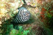 papagayo dive sites zebramoray meros