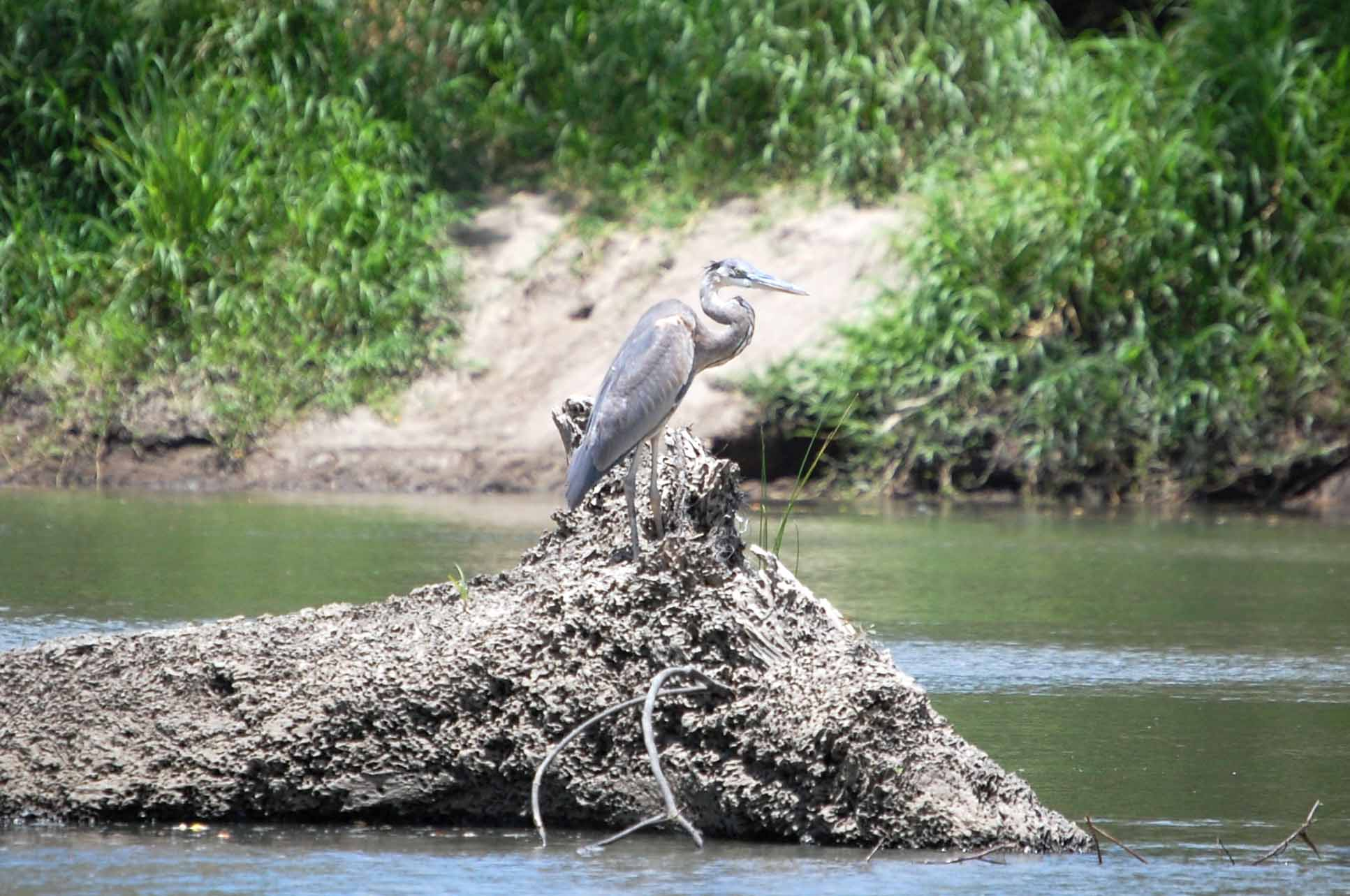 deep blue palo verde tour great blue heron