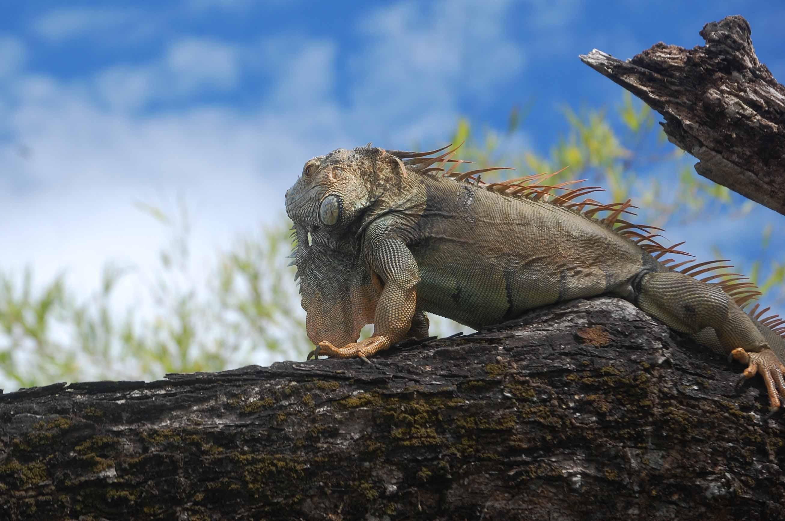 deep blue palo verde tour iguana